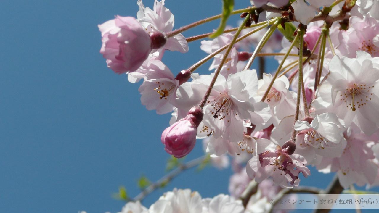 桜、鴨川にて